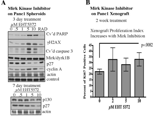 "Mirk kinase inhibitor treatment in vitro or in vivo leads to increased entry into cell cycling, and DNA damage and apoptosisA. Panc1 spheroids were treated 3 or 7 days with the Mirk kinase inhibitor 0.5-10μM EHT5372 or 10μM RAD001 before analysis by western blotting of quiescence proteins p130/Rb2 and p27, cyclin A as a measure of entry into cycle, histone H2AX phosphorylation as a measure of DNA breaks, the apoptotic marker cleaved PARP and cleaved caspase 3, and for blotting controls actin and a cross-reacting band to confirm equal loading. B. 4 week old J:NU athymic mice (Jackson Labs) were injected subcutaneously under the backskin with 1 million viable Panc1 cells, 5 mice per group. After 3 weeks, palpable tumors were detected, and mice were subjected to twice weekly 0.1ml intraperitoneal injection with Mirk/dyrk1B inhibitor EHT5372 to give a final concentration of 2, 5 or 10μM (4mg/kg), or diluent over a two week period. Tumors from each group of mice were fixed, and stained for the proliferation marker Ki67, a DNA polymerase subunit. Sections containing all of the tumors in each group were photographed with the same contrast, and printed. Each print was ""gridded"", and all of the cells within 4 alternate grid boxes were counted to eliminate counter bias. 454+/−21 cells were counted per treatment. Comparison of Ki67 percents by unpaired two-tailed t-tests for control vs. 10μM EHT5372 was statistically significant, p=0.0082."