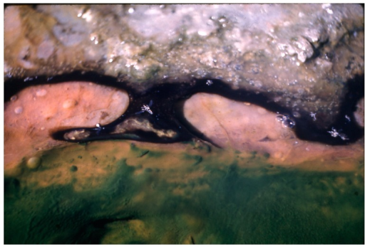 Geitlerinema terebriformis mat contracted and retreating under high midday light intensity at 49–53 °C, revealing Chloroflexus undermat, originally covered by the motile G. terebriformis mat during period of low light (Figure 7 in [15]).