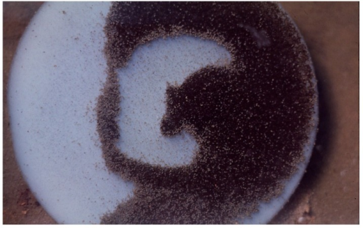 "Agar nutrient slab on which Pleurocapsa had been grown uniformly in lab (in petri dish) and then placed in ""Fenceline"" Spring at Hunter's at about 45 °C and allowed to be grazed upon by a natural ostracod population shown grazing here (small dark specks), after about 12 h with about 800–1000 animals cm−2, see [20]."