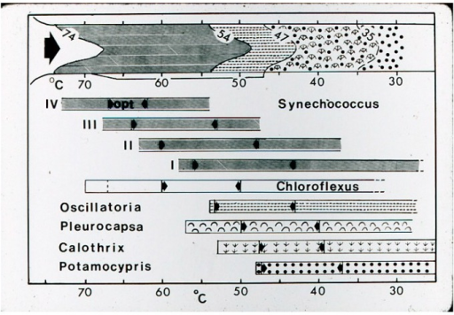 Cartoon summary of phototroph and ostracod distributions in Hunter's streams. Upper portion with visible field distributions. Lower line below indicates Chloroflexus undermat distribution (47–68 °C) and ostracod, Pleurocapsa, Calothrix distributiions below 47 °C. The lower horizontal bars indicate ranges in culture of 4 Synechococcus thermotypes [3] and those of Chloroflexus, Oscillatoria (=Geitlerinema), Pleurocapsa, Calothrix, and Potamocypris (former name of the ostracod, Thermopsis thermophile). The range between arrows indicates the approximate optimal range for growth in culture.