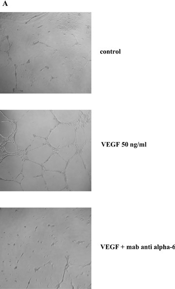 In vitro expansion modulates EPC tube formation in Matrigel by up-regulating integrin α6 expression. EPCs were stimulated with VEGF (50 ng/ml) for 36 hrs before being used in the tubule formation assay on Matrigel for 18 hrs. EPCs were plated on Matrigel in the presence or absence of a monoclonal antibody against human α6 (clone GoH3; R&D systems, 10 μg/ml). Results are means ± SEM of three determinations.*: P < 0.05. A. Photographs show pseudotube formation by untreated EPCs and EPCs treated with 50 ng/ml VEGF. Bottom:EPCs treated with VEGF were incubated with 10 μg/ml anti-α6 antibody. Photos (original magnification, x20) are representative of three independent experiments of EPCs after 3 weeks of culture. B. Quantitative analysis of network length of untreated EPCs, EPCs treated with 50 ng/ml VEGF with or without 10 μg/ml anti-α6 antibody at week 3 and week 5 of expansion. Quantitative analysis of network length with Videomet software. (network length of control W3 versus VEGF W3 and VEGF W3 versus VEGF W5, respectively, P= 0.011 and P= 0.009); (network length of VEGF W3 versus VEGF W3 with anti- α6 and VEGF W5 versus VEGF W5 with anti- α6, respectively, P= 0.024 and P= 0.005). C. Effect of VEGF on EPC integrin α6 subunit expression. EPCs were analysed by flow cytometry before and after treatment with VEGF (50 ng/ml). Geometric mean fluorescence intensities are expressed in percentages, 100% corresponding to the control value obtained with VEGF treatment at week 3 of expansion.(Geometric mean fluorescence intensities of control W3 versus VEGF W3 and VEGF W3 versus VEGF W5 respectively P= 0.002 and P= 0.028).