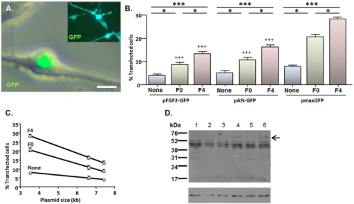 MNP-mediated delivery of a functional gene encoding FGF2—effect of magnetofection on transfection efficiency. Monolayers (n = 3 cultures) were transfected with Neuromag complexed with either pFGF2-GFP, pAN-GFP (control plasmid lacking the FGF2 insert) or pmaxGFP (positive control), with application of the indicated magnetic fields, then studied at 48 h post-transfection. (A) Representative phase and fluorescence double-merged image of cells transfected with pFGF2-GFP, demonstrating nuclear expression of GFP. Inset is a representative image of cells transfected with pAN-GFP; note that GFP expression extends throughout the cytoplasm. (B) Bar chart showing the proportions of transfected NSCs under no magnetic field (none), static magnetic field (F0) and oscillating magnetic field (F = 4 Hz; F4) conditions. *P < 0.05 and ***P < 0.001 for inter-field comparisons (indicated at top of chart) for a given plasmid; +++P < 0.001 versus pmaxGFP for a given magnetic field condition (one-way ANOVA and Bonferroni's MCT); n = 3 cultures. (C) Regression analysis demonstrating transfection efficiency is inversely related to plasmid size under no magnetic field (None; r2 = 0.994; P < 0.05), static magnetic field (F0; r2 = 0.998; P < 0.05) and oscillating (F = 4 Hz) magnetic field (F4; r2 = 0.999; P < 0.01) conditions. (D) Immunoblots sequentially probed with antibodies to FGF2 (top) and β-actin (loading control; bottom), demonstrating expression of a 60 kDa protein species (indicated by arrow) in extracts of cells (n = 3 cultures) transfected with pFGF2-GFP (lanes 2, 4 and 6) but not with pAN-GFP (lanes 1, 3 and 5); the migration of size markers is displayed on the right-hand side. Scale bar = 5 µm in (A).