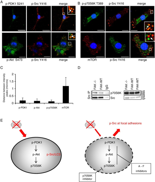 Signalling proteins localise to Src-containing autophagosomes. FAK −/− cells were fixed and stained with (A) anti-p-PDK1 S241 (upper panels), anti-p-Akt S473 (lower panels) or (B) anti-p-p70S6K T389 (upper panels), anti-mTOR (lower panels) and with anti-p-Src Y416 and DAPI (blue). Merged and zoomed images are shown. Solid arrows indicate co-localisation while broken arrows show its absence. Scale bars: 20 μm. (C) Amount of co-localisation per cell was calculated by measuring by the distance between the intensity peaks of the different fluorescent signals. Results are presented as mean ± s.d. (n = 20 intensity peaks from 5 cells). (D) Src was immunoprecipitated from SCC cells and immunoblotting performed with anti-p70S6K and anti-Src. (E) Model of signalling at Src positive autophagosomes. Schematic depicting how the use of inhibitors influences the trafficking of active Src to autophagic puncta in the absence of FAK.