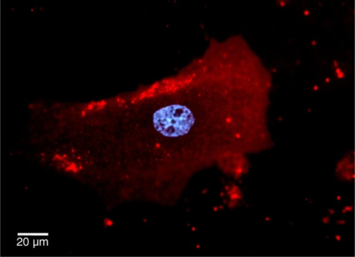 CMs stained with CellTracker™ Red were washed and cultured in serum free media for 48 hours. EVs were isolated from media using ultracentrifugation and visualized being taken up by cardiac fibroblasts using an Olympus BX62 microscope with Qimaging EMc2 EMCCD cooled camera (red, cell tracker red for membrane; blue, hoechst 33,342 for nucleus).