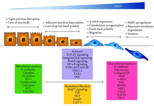Schematic illustration of the key events during MMT. Mesothelial to mesenchymal transition (MMT) occurs when mesothelial cells lose their epithelial-like characteristics, including dissolution of cell-cell junctions, that is, tight junctions, adherens junctions and desmosomes, and loss of apical-basolateral polarity, and acquire a mesenchymal phenotype, characterized by actin reorganization and stress fiber formation, migration, and invasion. The diagram shows four key steps essential for the completion of entire MMT, the most commonly used mesothelial and mesenchymal markers, and the molecules and signal transduction pathways that act either as inducer or modulator of the MMT process. See text for details.