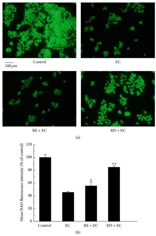 Effect of RD on EC-induced oxidative damage to mitochondrial membrane in Caco-2 cells. (a) After treatment with 62.5 mM EC in the presence or absence of RE (2 mg/mL) or RD (2 mg/mL) for 24 h, Caco-2 cells were incubated with 10 μM NAO for 30 min and subsequently adopted to fluorescence microscope analysis. (b) The quantitative data of panel (a) and results were expressed as mean NAO fluorescence intensity (mean ± standard deviations). ∗p < 0.05 represents significant difference compared with EC group.