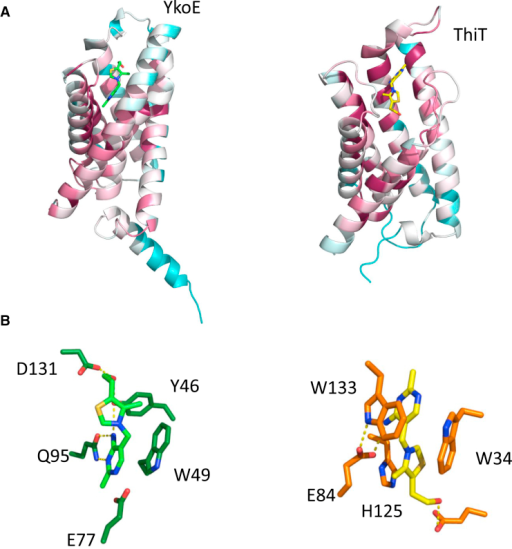 Side by Side Comparison of YkoE and ThiTBoth proteins are colored by conservation.(A) YkoE (left) and ThiT (right) with bound thiamine.(B) The constituent residues of the YkoE (left) and ThiT (right) thiamine binding pocket that interact with thiamine.