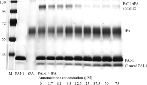 Elucidation of Annonacinone mechanism of action by SDS-PAGE.Influence of annonacinone on the PAI-1/tPA interaction on SDS-PAGE. PAI-1 (4 μL, 1 μM) was pre-incubated with 16 μL containing indicated concentrations of annonacinone (2% DMSO) for 30 min at 37 °C. Human tPA (4 μL, 0.5 μM) was then added to the mixture and incubated for 15 min at 37 °C. Reaction was stopped by addition of 4X SDS-PAGE loading buffer followed by immediate boiling. Samples were then analyzed on SDS-PAGE followed by silver staining. The margins indicate (left) molecular weights (×103 Da) of the markers (M), (right) the migration positions of relevant species, and (bottom) the experimental conditions.