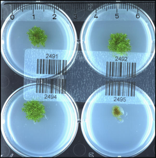 Isolation of metabolic mutants. Physcomitrella plants derived from transformation with the gene-disruption library and regenerated on supplemented medium were split in two parts, which were transferred to minimal Knop medium with and without supplements (see Materials) and cultured for 8 weeks. The picture shows four independent Physcomitrella transformants cultured on minimal medium, one of which (bottom right) displays a clear growth defect. All four plants grew equally well on supplemented medium (data not shown). The scale bar at the top indicates size in centimetres.