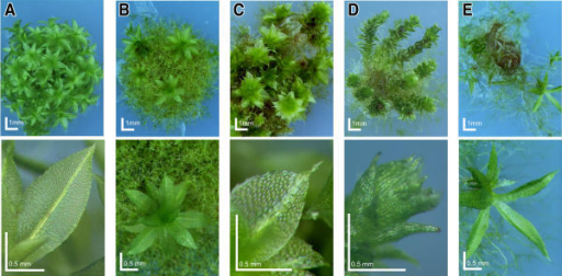 "Deviating phenotypes induced in gene-disruption library transformants. Physcomitrella wild-type and transformed plants were grown on minimal Knop medium to induce differentiation and development of gametophores. For each plant, an overview (upper row, scale bar corresponds to 1 mm) and a close-up (bottom row, scale bar equals 0.5 mm) is shown. A, Haploid wild-type moss plant completely covered with leafy gametophores and close-up of wild-type leaf. B, Transformant BC22189 affected in differentiation, mostly comprising of filamentous protonema with reduced number of gametophores, but normal leaf morphology (haploid). C, Transformant BC11280 showing retarded growth, a reduced number of gametophores per moss plant and altered leaf morphology (""drehzipfel"" phenotype; twisted tips of leaves, haploid). D, Transformant BC1015 displaying altered growth habitus (""wasserpest"" phenotype, reminiscent of the waterweed Elodea) and altered leaf morphology (polyploid). E, Transformant BC22288 showing retarded growth and elongated, narrow leafs (polyploid)."