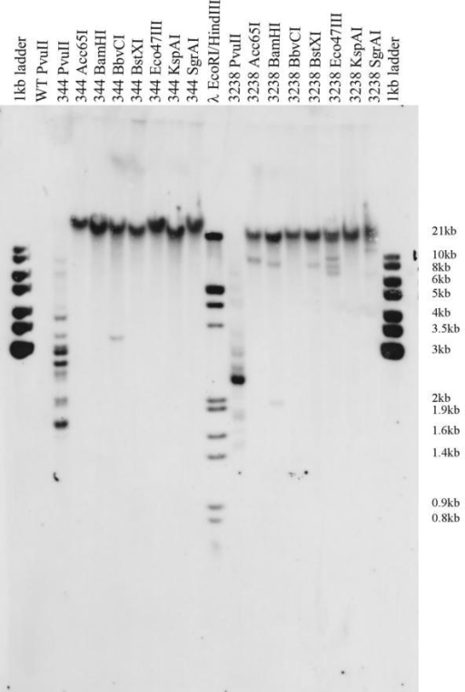 Southern blot analysis of gene-disruption library transformants. 1 μg of genomic DNA isolated from two representative Physcomitrella transformants (BC344 and BC3238) was digested to completion with PvuII, which has a recognition site within the nptII coding sequence, or one of seven other restriction enzymes that do not cut within nptII and only rarely in Physcomitrella cDNAs. Fragments carrying nptII -sequences were detected by a DIG-labelled probe after electrophoresis and transfer to a nylon membrane.