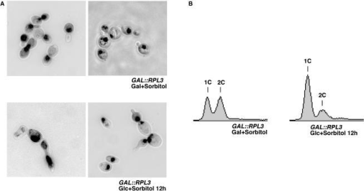 Depletion of Rpl3p leads to an arrest of the cell cycle at the G1 phase and an abnormal cell morphology. (A) Cell morphology of GAL::RPL3 cells grown in YPGalS (Gal+Sorbitol) or shifted for 12 h to YPDS (Glc+Sorbitol). Cells were stained with DAPI for localization of nuclei and then visualized by fluorescence and phase contrast microscopy. Merged images are shown. (B) FACS analysis of unsynchronized GAL::RPL3 cells grown in YPGalS or shifted for 12 h to YPDS at 30°C. 1C and 2C peaks correspond to cells with unreplicated and duplicated genomes, respectively.