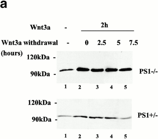 (a) Abnormal β-catenin turnover after Wnt stimulation in the absence of PS1. Primary PS1−/− and PS1+/− fibroblasts were incubated with Wnt-3a–conditioned medium (Wnt-CM) as described in Materials and Methods. After 2 h of treatment, Wnt-CM was removed, and cells were washed extensively and incubated for the indicated time points with fresh normal medium. Shown are the levels of cytosolic β-catenin. Results are representative of three independent experiments. (b) Cells were treated with Wnt-CM exactly as described for Fig. 5 a, and axin levels were analyzed by Western blot. Note that the axin phosphorylation pattern in response to Wnt is not different between PS1+/− and −/− cells. In marked contrast, restoration of β-catenin levels is delayed in PS1−/− cells with respect to control cells (a).