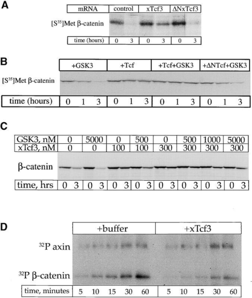 Tcf3 blocks β-catenin degradation in extracts and phosphorylation in vitro. (A) Translated Tcf3 but not ΔNTcf3 mRNA inhibits β-catenin degradation in extracts. (B) Purified Tcf3 protein (1 μM) blocks β-catenin degradation. This effect was not reversed by 1 μM GSK3. Purified ΔNTcf3 (1 μM) does not block β-catenin degradation. (C) Inhibition of β-catenin degradation by lower (100 nM) Tcf3 levels can be partially rescued by GSK3; higher Tcf3 (300 nM) levels cannot be rescued by even a large GSK3 excess. (D) Tcf3 inhibits the phosphorylation of β-catenin by GSK3 and axin in a purified system. In the same reaction, axin phosphorylation by GSK3 is not affected by Tcf3.