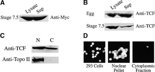 A significant fraction of total cellular TCF protein in Xenopus embryos and in cultured cells is nonnuclear. (A) Both cells of 2-cell embryos were injected with myc6-Tcf3 RNA (250 pg/ blastomere), gently homogenized at stage 7.5 (lysate), and centrifuged to pellet the nuclei (Sup). Equivalent volumes of lysate and supernatant were subsequently processed for Western analysis using an anti-myc antibody. Most of the detected myc-tagged Tcf3 is present in the supernatant fraction. (B) Xenopus eggs and stage 7.5 embryos were processed as described for the myc6-Tcf3 RNA injected embryos except that an anti-Tcf antibody was used to detect endogenous Tcf. Nearly all of the Tcf detected is present in the supernatant fraction of eggs in contrast to stage 7.5 embryos. Lysates and supernatants were stained with Hoechst to confirm the presence (lysates) or absence (supernatants) of intact nuclei (unpublished data). Nuclear and cytoplasmic preparations from cultured 293 cells were blotted for topoisomerase II (C) and Tcf and stained with Hoechst (D). The nuclear pellet was brought to the same volume as the cytoplasmic fraction, and equivalent volumes were used for Western analysis.