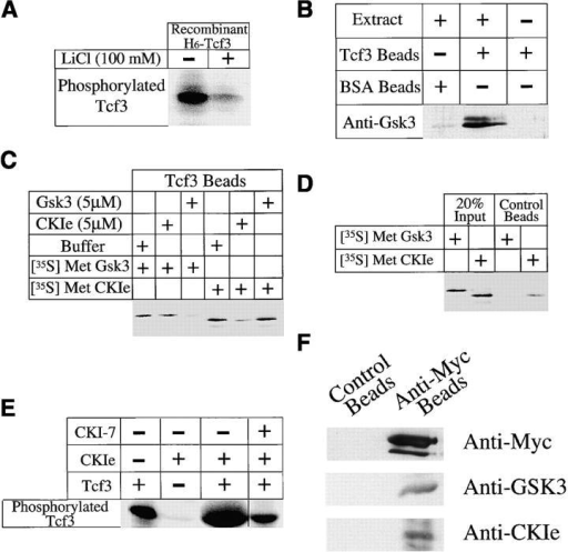 GSK3 and CK1ε bind and phosphorylate Tcf3. (A) Tcf3 purified from Sf9 cells contains lithium-sensitive kinase activity. Recombinant his6-Tcf3 (1μg) was incubated in 10 μl kinase buffer (described in Materials and methods) for 30 min at room temperature either in the presence or absence of 100 mM LiCl, which normally inhibits GSK3 activity. Phosphorylation of Tcf3 is dramatically decreased in the presence of lithium. (B) Tcf3 beads pull down GSK3 from Xenopus extracts. Beads (control-BSA or Tcf3-coupled) were incubated with Xenopus egg extracts, washed, eluted, and analyzed by Western blotting with a monoclonal anti-GSK3 antibody. (C) Both GSK3 and CK1ε bind Tcf3. Radiolabeled in vitro–translated GSK3 and CK1ε bind Tcf3 beads. Binding of radiolabeled GSK3 and CK1ε to Tcf3 beads was abolished by addition of excess cold protein (5 μM of his6-GSK3 and MBP-CK1ε, respectively), demonstrating specificity of the binding reaction. However, excess cold his6-GSK3 does not block CK1ε binding to Tcf3, whereas excess cold MBP-CKIε fails to block GSK3 binding to Tcf3, which suggests the existence of independent nonoverlapping sites for GSK3 and CK1ε binding on Tcf3. (D) CK1ε can phosphorylate Tcf3. Incubating Tcf3 with MBP-CK1ε enhances its phosphorylation. Endogenous kinase activity seen for Tcf3 alone reflects copurification of GSK3. (E) The enhancement of Tcf3 phosphorylation by CK1ε can be readily reversed by addition of CKI-7 (100 μM), a specific CK1 inhibitor, which indicates that Tcf3 is a substrate for both GSK3 and CK1ε. (F) Both GSK3 and CK1ε coimmunoprecipitates with myc-tagged Tcf3. Both cells of 2-cell embryos were injected with myc6-Tcf3 RNA (500 pg/blastomere), homogenized at stage 7.5, and precipitated with either anti-myc antibodies coupled to beads or to control beads. Western blotting with antibodies against GSK3 and CK1e indicates that both proteins coimmunoprecipitates with myc-tagged Tcf3 protein.