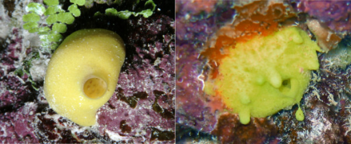 Leucetta chagosensis in its natural habitat. Leucetta chagosensis in its natural habitat at Ribbon Reef #10, Great Barrier Reef, February 2006. Left: A small specimen with one central osculum. Right: An individual producing asexual buds separating from the main animal. The size of both specimens is approximately 4 cm.