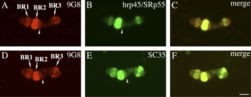 Different types of SR proteins are associated with BR gene loci. (A–F) Chromosome IV was immunostained with combinations of anti-9G8 and anti-hrp45/SRp55 antibodies (A–C) or anti-9G8 and anti-SC35 antibodies (D–F). Arrows indicate the active BR1, BR2, and BR3 gene loci. The arrowheads show a fourth gene locus containing 9G8 and SC35 but little hrp45/SRp55. Bar, 10 µm.
