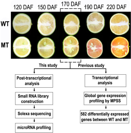 Fruit development of the red-flesh mutant 'Hong anliu' sweet orange (MT) and its wild type (WT). The schematic presentation shows the strategy of transcriptional analysis by the Massive Parallel Signature Sequencing (previously) and post-transcriptional analysis by sRNA sequencing (this study) on the MT and WT. DAF stands for Days After Flowering.