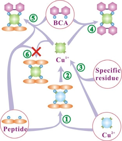 Schematic drawing to display the chemical species in a solution during the BCA protein assay. Species enclosed by a circle are the reactants. The peptide bonds and specific residues reduce cupric ions to cuprous ions, which form two complexes with peptide bonds and BCA. Peptide bonds can also form a complex with cupric ions (biuret reaction).