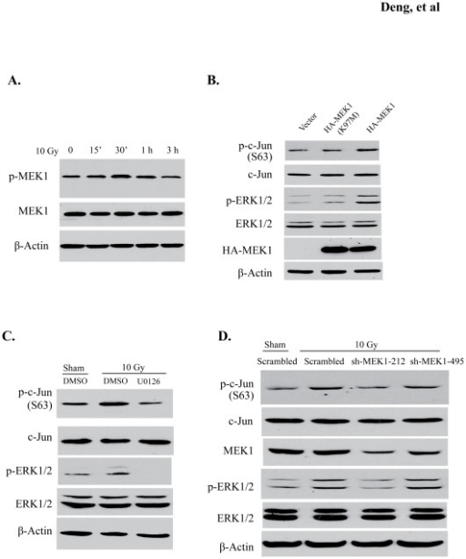 MEK-ERK1/2 signaling pathway is required for radiation-induced c-Jun phosphorylation.(A) Cell lysates collected from 10 Gy-irradiated BV2 cells were immunoblotted with anti-phosphorylated MEK1/2 (sc-7995R) antibody. (B) BV2 cells were transfected with HA-MEK1, HA-MEK1K97M (kinase-dead mutant), and vector control. Protein levels of p-c-Jun and p-ERK1/2 (upper and lower panels) are shown. (C) BV2 cells that were treated or untreated with 10 μM U0126 were irradiated with 10 Gy. p-c-Jun and p-ERK1/2 levels were analyzed by Western blot. (D) Two shRNAs (sh-MEK1-212 and sh-MEK1-495) were lentivirally delivered into BV2 cells to knockdown MEK1 protein. Knockdown efficiency and protein levels of p-c-Jun and p-ERK1/2 were detected with the indicated antibodies. The quantification results for (C) and (D) are shown in Figure S2.