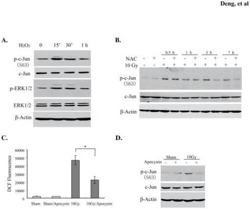 ROS is associated with c-Jun phosphorylation.(A) 100 μM exogenous hydrogen peroxide was added into culture medium of BV2 cells. p-c-Jun and p-ERK1/2 were detected at the time points indicated. (B) c-Jun phosphorylation was detected for BV2 cell lysates treated or untreated with 5 mM NAC at the indicated time points after radiation. (C) Inhibition of radiation-induced ROS in BV2 cells by 50 μM apocynin. Intracellular ROS level was determined using the 2′, 7′-Dichlorofluorescein diacetate (DCFA-DA) based method. Data represent mean ± SD, *p<0.05. (D) Apocynin was added into the BV2 cell culture medium and phosphorylation of c-Jun was analyzed in the apocynin-treated cell lysates.