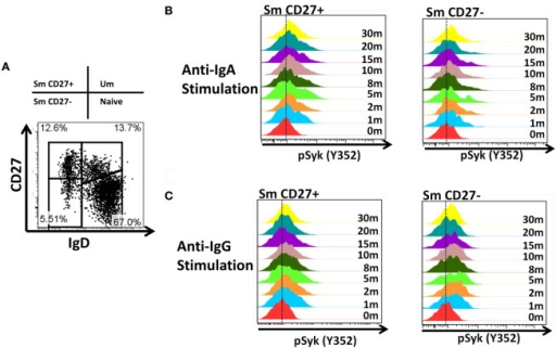 Time course of phosphorylation of pSyk in Sm CD27+ and Sm CD27− B cells following anti-IgA and anti-IgG stimulation. PBMC from healthy volunteers were stimulated with either anti-IgA or anti-IgG and phosphorylation of Syk was evaluated at different time points (1, 2, 5, 8, 10, 15, 20, and 30 min) in Sm CD27+ and Sm CD27− B cell populations (A). Samples were fluorescently barcoded for multiplexing. Displayed are detailed histograms of pSyk following anti-IgA (B) and -IgG (C) at each time point.