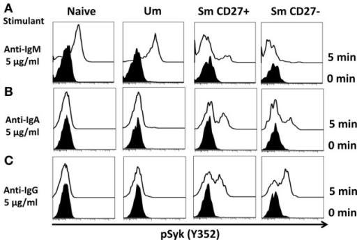 Anti-IgM induces specific Syk(Y352) phosphorylation in naïve and Um B cells. Only Um and Naïve B cells, which co-express IgM and IgD, showed robust Syk phosphorylation after PBMC stimulation with anti-IgM (A). Interestingly, a small peak was detected in Sm CD27+ cells, which probably corresponds to IgM cells present in Sm CD27+ cells (Figure 1D). No phosphorylation of Syk was detected in Sm CD27− B cells (A). PBMC were also stimulated with anti-IgA and -IgG (B and C, respectively). Syk phosphorylation was detected in Sm CD27+ and Sm CD27−, but not in naïve and Um B cells (B and C).