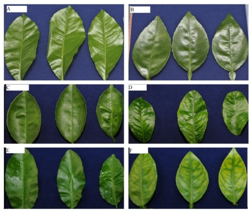 Progression of huanglongbing (HLB)-related symptoms in 'Candidatus Liberibacter asiaticus'-inoculated 'Hamlin' sweet orange seedlings.A) leaves from control plants 19 weeks after inoculation; B) leaves from CLas-grafted plants 19 weeks after inoculation; C) leaves from control plants 29 weeks after inoculation; D) leaves from CLas-grafted plants 29 weeks after inoculation; E) leaves from control plants 35 weeks after inoculation; F) leaves from CLas-grafted trees 35 weeks after inoculation.
