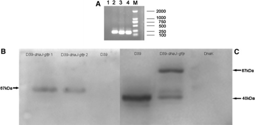 Identification of pAE03-dnaJ-gfp in S. pneumoniae strain D39-dnaJ-gfp. Two positive colonies (D39-dnaJ-gfp) were selected on BA plates supplemented with 0.25 μg/ml erythromycin, and confirmed by PCR with gfp primers (a). The samples were D39 (1), plasmid pAE03 (2), D39-dnaJ-gfp 2 (3), D39-dnaJ-gfp 1 (4) and marker (M).Then they were cultured in C+Y medium until OD600 0.4–0.5. Bacteria was collected by centrifugation at 12,000 rpm and washed twice with PBS. The pellet was then resuspended in 50–80 μl 2× SDS sample buffer. Samples were boiled for 30 min and spined down. 10–15 μl of supernatant was loaded on an SDS-PAGE gel and continued with western blot probed by GFP antibody (Beyotime) (b) and anti-DnaJ antiserum (c) detection. DnaK protein was purified from E. coli BL21 (TaKaRa, China)