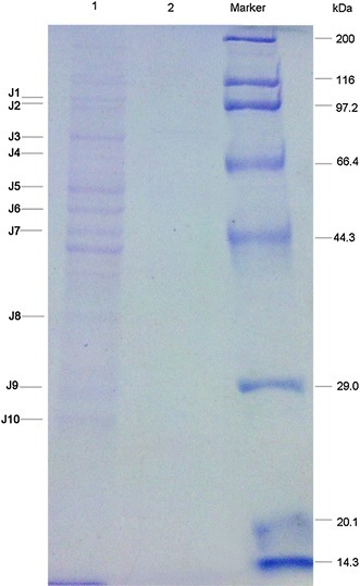 Differential DnaJ interaction proteins between S. pneumoniae strain D39 and D39-dnaJ-gfp by co-IP. S. pneumoniae strain D39 and D39-dnaJ-gfp were cultured in C+Y medium until OD600 0.4–0.5. Then the bacteria were collected and the pellet was sonicated. Cell debris was removed by centrifugation at 12,000 rpm for 30 min. The supernatant was collected and used for co-IP. Lanes 1 and 2 showed the proteins attached to protein G-agarose beads in S. pneumoniae D39-dnaJ-gfp or D39, respectively