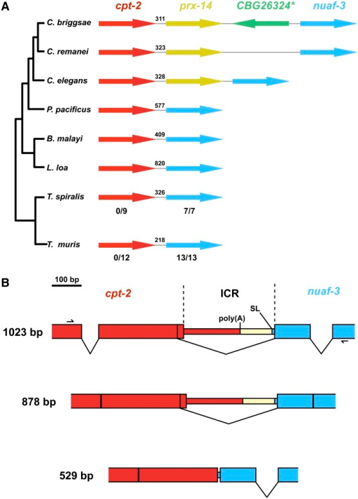 Evidence for an evolutionarily conserved nematode operon. (A) The structure of the cpt-2-nuaf-3 genomic regions from a range of nematode species mapped onto the nematode phylogeny. Genes are represented by arrows, and the gray lines represent the intercistronic regions (ICRs). Numbers above the ICRs represent the distances, in base pairs, between the stop and start codons of the upstream and downstream genes, respectively. The C. elegans operon numbers are given where appropriate. Fractions below the T. spiralis and T. muris genes represent the proportion of cDNAs derived from those genes that begins with a spliced leader sequence. (B) Detecting polycistronic RNAs derived from the cpt-2∼nuaf-3 operon in T. spiralis. The exon–intron structures of the amplicons used to identify polycistronic RNAs are shown, with exons represented by boxes (shaded to identify the genes from which they are derived using the same color coding that was used in A. The region removed during operon processing is represented by cream-colored boxes. The positions of the SL trans-splice 3′ spliced sites are indicated.