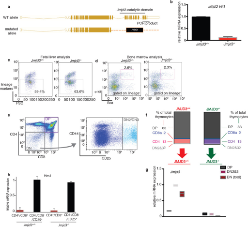 Physiological development of the hematopoietic system in the absence of Jmjd3a, b, Targeting scheme for the generation of Jmjd3−/− allele (a) and PCR-based quantification of the wild-type and mutant transcripts (b) using a specific primer set for the 3' end of Jmjd3 cDNA. c, d, Analysis of the fetal liver for lineage markers (c) as well as bone marrow (d) of recipients for hematopoietic progenitors (lineage−, c-kit+, sca+ (LSK) population) for the Jmjd3+/+ and Jmjd3−/− genotypes. Representative plots of three independent experiments are shown. e–g, Analysis of major thymic subsets in Jmjd3+/+ (n=7) and Jmjd3−/− (n=7). Schematic representation of FACS analysis performed (e). Relative proportions of major cell populations in the thymi of Jmjd3+/+ and Jmjd3−/− background (f). mRNA expression of Jmjd3 gene in different stages of thymic development (g). h, and expression of Notch1 target (like Hes1, n=7) in CD4+/CD8+ double positive and CD4− CD8−CD25+ lymphocyte progenitor cells. Representative plots (e) as well as average representation (g, h) of seven independent thymi are shown.