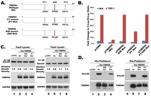 TMEPAI sequesters R-SmadsA. Schematic representation of point mutations in SIM and PY motifs of human TMEPAI. SIM mutant (186PPNR189 → PAAR) and PY mutant (158PPPY161 → PPPA and 229PPTY232 → PPTA) were created by site-directed mutagenesis. B. Relative luciferase activity from MDA-MB-231 cells transiently transfected with 12X CAGA-Luc reporter and expression plasmids of TMEPAI and its mutants (See Materials section for details). Cells were treated without or with TGF-β (2ng/ml) for 16 h. C. MDA-MB-231 cells were transfected with pcDNA or pHis-TMEPAI (wild type and PY or SIM mutants) along with Flag-tagged Smad2 or Smad3 expression vectors. 24 hours later, cells lysates were collected and analyzed by Western blotting. D. Proteins from above lysates were captured by Co2+- chelate matrix and then analyzed for TMEPAI and R-Smads.
