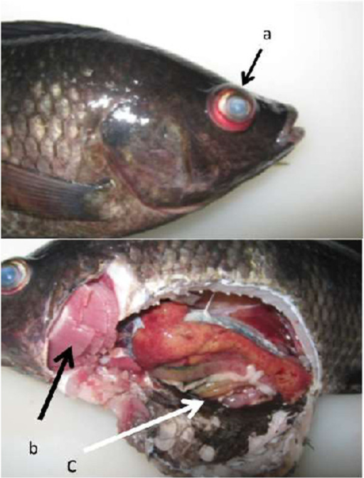 Nile tilapia (Oreochromis niloticus) from Lake Sentani showing gross clinical signs of streptococcosis. a) exophthalmus, opaque, and haemorrhagic eye, b) pale gill, and c) ascites in abdominal cavity.