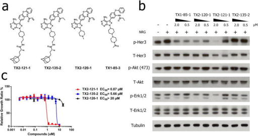 Adamantane conjugated compounds induce Her3 degradation(a) Chemical structure of representative adamantane tagged compound TX2-121-1, negative control without adamantane and negative control lacking a nucleophilic warhead. (b) Her3/PI3K/AKT signaling analysis. Western blots were performed on lysates from serum starved PC9 GR4 cells treated with adamantane tagged compounds followed by 30 min treatment of 100 ng/ml NRG. Her3 was induced by NRG (lane 2) but degraded by 2 μM TX2-121-1 (lane 7). This was accompanied by decreases in p-Akt and p-Erk. (c) Anti-proliferative activity of adamantane conjugated compounds. TX2-121-1 which includes the reactive acrylamide group is about 7 fold more potent against PC9 GR4 cell line than negative controls which contain an unreactive propionamide group. The EC50 was not achieved for a compound lacking the adamantane group. Each condition was tested in triplicate. Data represent mean values ± s.d. In summary these results suggest that both adamantane and the electrophilic warhead contribute to potency of the compound.