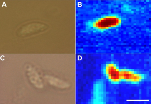 Raman spectroscopic imaging of tachyzoites.Bright field (A) and corresponding Raman (B) image of N. caninum tachyzoites derived from locusts' brains. Bright field (C) and corresponding Raman (D) image of N. caninum tachyzoites derived from culture. Bar applies to all figures, 5 µm.