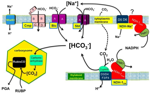Schematic representation of the cyanobacterial CO2 concentrating mechanism (CCM).