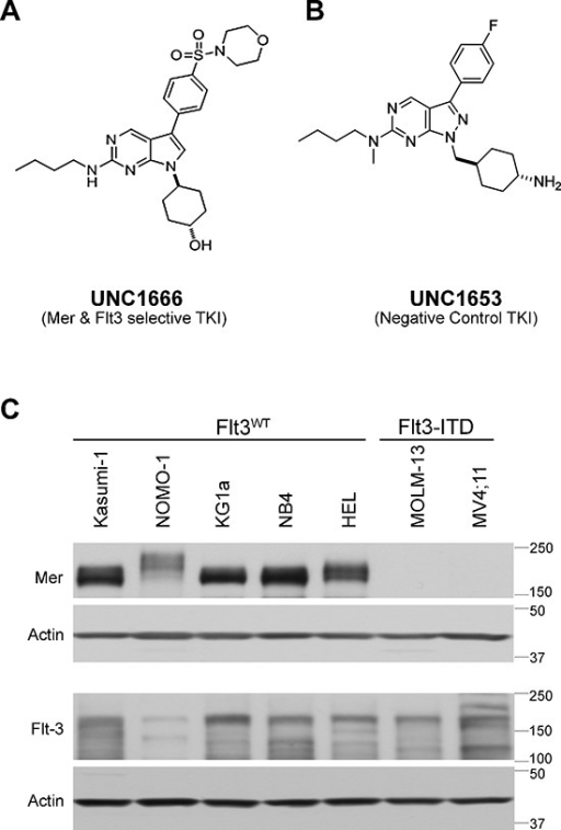 UNC1666 is a novel inhibitor of Mer and Flt3 tyrosine kinases(A) Chemical structure of UNC1666, with inhibition constant (Ki) of 0.16 nM for Mer (enzymatic IC50: 0.55 nM) and 0.67 nM for Flt3 (enzymatic IC50: 0.69 nM). (B) Chemical structure of UNC1653, which lacks significant activity against Mer (enzymatic IC50: 560 nM) and Flt3 (enzymatic IC50: 220 nM) and is used as a negative control in these studies. (C) Whole cell lysates from AML cell lines with known Flt3 mutation status were analyzed by immunoblot and demonstrate presence or absence of the Mer tyrosine kinase (above) and the Flt3 tyrosine kinase (middle). Actin is shown as an indicator of total protein (below).