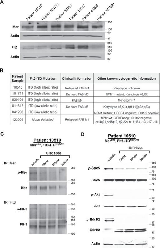 UNC1666 inhibits Mer and Flt3 dependent signaling in AML patient samples(A) Immunoblot analysis of Mer and Flt3 expression in lysates prepared from AML patient samples. (B) Flt3 mutation status of patient samples determined by molecular profiling. (C, D) Dose-dependent inhibition of Mer and Flt3 phosphorylation in response to treatment with UNC1666. AML blasts from patient sample #10510 (Mer positive, Flt3-ITD high allelic ratio) were treated with UNC1666 or vehicle for two hours. (C) Mer and Flt3 were immunoprecipitated from cell lysates and phosphorylated Mer (p-Mer), total Mer (~180 kDa), phosphorylated Flt3 (p-Flt3) and total Flt3 (130/160 kDa) were detected by immunoblot. (D) Phosphorylation of downstream signaling molecules was assessed by immunoblot after treatment with UNC1666 or vehicle.