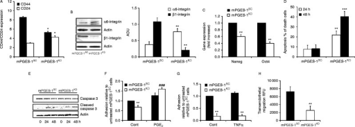 EGFR activation mediates mPGES-1/PGE2-dependent EMT of DU145 cells. (A) FACS analysis for CD24 and CD44 expression in DU145 mPGES-1SC-and mPGES-1KD cells, and (B) western blot analysis and quantification of α6 and β1-integrin expression in mPGES-1SC and mPGES-1KD cells. Data are representative of three different experiments and quantification was performed by Image J. *P<0.01 vs DU145 mPGES-1SC (C) RT-PCR analysis of Nanog and Oct4 expression in mPGES-1SC and mPGES-1KD DU145 cells. Data are reported as fold increase vs mPGES-1SC cells. **P<0.01 vs DU145 mPGES-1SC. (D) Cell viability of DU145 mPGES-1SC and mPGES-1KD in suspension in 0.1% of serum. Results are expressed as % of dead cells. **P<0.01 and ***P<0.001 vs DU145 mPGES-1SC. (E) Western blot analysis of caspase 3 activation in DU145 cells grown in suspension for the indicated time. (F) Adhesion of DU145 mPGES-1SC and mPGES-1KD untreated or pretreated with PGE2 (1 μmol/l, 96 h) on fibronectin coated-96 well plate. Cell adhesion was evaluated after 2 h of incubation in 1% serum. Results (three experiments in triplicate) are expressed as % of adherent cells relative to untreated mPGES-1SC. **P<0.01 vs mPGES-1SC; ###P<0.01 vs mPGES-1KD. (G) CytoTracker labeled DU145 mPGES-1SCor mPGES-1KD cells were allowed to attach to untreated or TNFα-pre-treated HUVEC monolayers in 48 well plates for 1 h. Adherent cells were lysed and quantified. Results (three experiments in duplicate) are expressed as fold increase to the adhesion of mPGES-1SC on untreated HUVEC. **P<0.01 vs mPGES-1SC. (H) Migration of DU145 mPGES-1SC and mPGES-1KD toward HUVEC monolayer. CytoTracker labeled tumor cells were seeded in the upper side of 48 well-transwell and migration was evaluated after 2 h by measuring the fluorescence in the lower side of the well. Data are reported as relative fluorescence unit of three experiments run in duplicate. **P<0.01 vs DU145 mPGES-1SC.