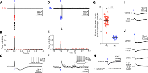 Activation of Hippocampal Inputs Provides FFI of BA PNs(A) Ex vivo cell-attached recording from a representative PN in response to single light pulses (20 superimposed sweeps, top; singularly represented in raster plot, bottom). Red circles denote spike negative peak.(B) Mean probability of firing of PNs (bins = 10 ms, black: mean, red: SEM; n = 24).(C) Whole-cell recording of the same cell as in (A) showing that the light pulse induced a PSP composed of an EPSP followed by a biphasic IPSP. On average, the peak amplitudes of the EPSP, early IPSP, and late IPSP were 8.9 ± 1 mV, 4.1 ± 0.8 mV, and 2.7 ± 0.6 mV (n = 24), respectively. Inset: Response to hyperpolarizing and depolarizing current injections showing stereotypic PN firing.(D) Cell-attached recording from a representative IN in response to a single light pulse (20 superimposed sweeps, top; singularly represented in raster plot, bottom). Blue circles denote spike negative peak.(E) Mean probability of firing of INs (bin = 10 ms, black: mean, red: SEM; n = 11).(F) Whole-cell recording of the same cell as in (D) showing that the light stimulation evoked a monophasic EPSP. On average, the peak amplitude of the EPSP was 8.1 ± 0.7 mV (n = 24). Inset: Response to hyperpolarizing and depolarizing current injections displaying stereotypic IN firing.(G) Minimum light power density (mW/mm2) necessary to trigger one spike in PNs (n = 33) and INs (n = 11). Significantly higher power was necessary to reach spike threshold in PNs (∗∗∗∗p < 0.0001).(H) The IPSP induced by a single light pulse was blocked by glutamatergic antagonists NBQX (10 μm)/APV (100 μm), suggesting it was mediated by FFI due to activation of BA INs (n = 5).(I) The early IPSP was blocked by the GABAA receptor antagonist SR95531 (10 μm, n = 5).(J) The late IPSP was blocked by the GABAB receptor antagonist CGP54626 (5 μm, n = 26). Co-application of SR95531 and CGP54626 abolished IPSPs and increased the duration of the EPSP. All data from whole-cell recordings shown are three superimposed (gray) and average traces (black). Data are presented as means ± SEM.