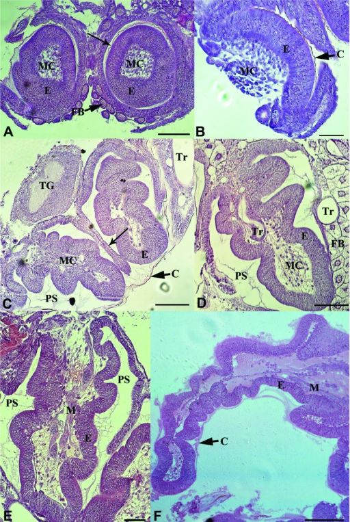 Hind leg imaginal discs development in honey bee larvae. (A–B) In the fourth larval instar (L4,) the disc occupies the peripodial sac (PS and arrow in A). Mesenchymal cells (MC) are observed inside the disc, which is covered by the larval cuticle (C). (C–E) During the feeding stage of the fifth instar (L5F) the discs grow considerably and the leg compartments start to become apparent, but the epithelium (E) remains unchanged. Muscles cells (M) are adjacent to the epithelium where they will establish future connections. (F) In the legs of early spinning stage (L5S) larva, segmentation is more apparent, but the epithelium still remains the same. A, B - L4 queen; C - L5F1 worker; D - L5F2 worker; E - L5F3 worker; F, L5S1 queen.; C, cuticle; E, epidermis; FB, fat body; MC, mesenchymal cells; M, muscle; PS, peripodial sac; Tr, trachea; TG, thoracic ganglion. Scale bars: A, C, D, E, 100 μm; B, 50 μm; F, 200 μm.