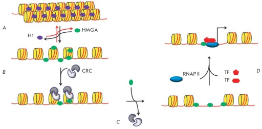 The putative model of HMGA1-mediated activation of transcription. The putativemechanism of transcriptional regulation by HMGA1: HMGA1 promotes chromatinreorganization by exposing DNA sites for transcription initiation factors.A – HMGA1 competes with histone H1 by replacing it.B – chromatin decompactization usingchromatin-remodeling complexes (CRCs). Binding of CRC to chromatin increaseswhen it interacts with HMGA1. C – release of DNA forbinding to transcription factors. D – initiation oftranscription: HMGA1 can interact with transcription factors (TFs) byrecruiting them to the promoter [62].