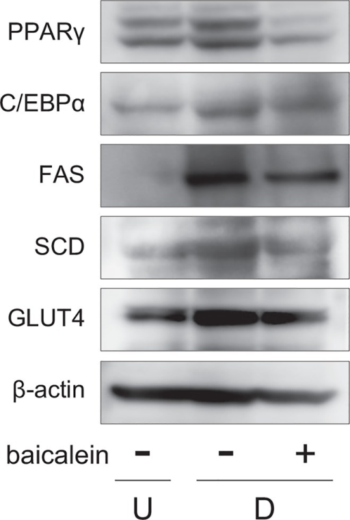 Change of expression of proteins associated with adipogenesis in baicalein-treated 3T3-L1 cells.3T3-L1 cells were differentiated as described in Fig 2A. Protein levels were detected by Western blot analysis using cell extracts (15 μg/lane).