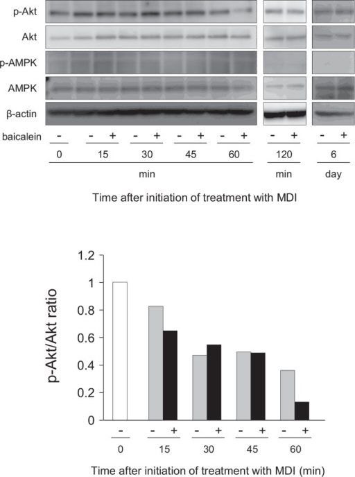 Inhibition of Akt phosphorylation in 3T3-L1 cells by baicalein.A, 3T3-L1 cells were differentiated into adipocytes for 60 min, 120 min or 6 days in DMEM containing MDI with baicalein or not (0 or 50 μM). Cell lysates (15 μg/lane) were subjected to SDS-PAGE and Western blot analysis for the detection of phosphorylated Akt (p-Akt), Akt, phosphorylated AMPK (p-AMPK) and AMPK proteins. β-actin was also detected as the internal control. The results are representative from at least three experiments. B, Ratio of band intensities of p-Akt/Akt. Band intensity was measured with MultiGauge software. The ratio of p-Akt and total Akt was shown.