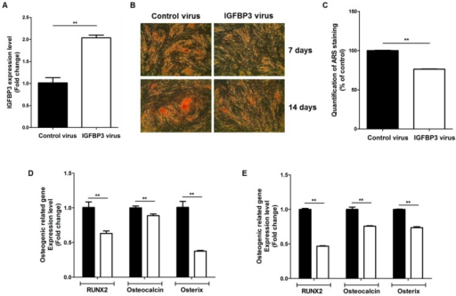 IGFBP3 overexpression reduces the osteogenic differentiation of ASCs. (A) Overexpression of IGFBP3 using lentiviral vectors; (B) IGFBP3 overexpression inhibited the osteogenic differentiation of ASCs at 7 and 14 days (40×); (C) quantification of ARS staining was measured at 7 days; (D,E) in addition, IGFBP3 overexpression significantly inhibited the expression of osteogenic induction markers such as RUNX2, osteocalcin, and osterix at 7 days (D) and 14 days (E). Control: black bars, IGFBP3 overexpression: white bars. ** p < 0.01.