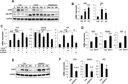 DDIT4 regulates mTOR singling and the expression of pulripotency genes in MSC.(A) MSC were pre-treated with CoCl2 (100 μM), rapamycin (10 nM) or vehicle control for 24 hours, serum starved for 6 hours and phosphorylation of S6K, and 4E-BP1were analyzed in response to stimulation by media containing 10% serum for 20 minutes, 6 and 24 hours using Western blotting. CoCl2 and rapamycin were present at all time during serum deprivation and stimulation period. Data shown is representative of three separate experiments. (B–F) Expression of pluripotency genes Oct4, Nanog and Klf4. (B) MSC were treated with 100 μM of CoCl2 for 1 day (D1) or 4 days (D4) and expression of Oct4 and Klf4 was determined by qRT-PCR (n = 5). (C) MSC were transfected with HIF1α or DDIT4 or control siRNA for 24 h and subsequently treated for a further 24 h with CoCl2 (100 μM) prior to qRT-PCR analysis (n = 5). (D) DDIT4 was transiently overexpressed in MSC and the expression of Oct4, Nanog and Klf4 was determined by qRT-PCR (n = 5). (E) MSC stably transfect with shRNA against DDIT4 or negative control were analysed for mTOR substrate (p-S6K) activation and (F) the expression of pluripotency genes Oct4, Nanog and Klf4. Error bars indicate mean ± SEM. *p < 0.05; **p < 0.01; ***p < 0.001.