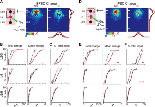 The EPSC and IPSC charge of interlaminar cortical connections to L4 cells decreases. A, Average maps (aligned to soma, white circle) of connection strength (transferred charge) for excitatory inputs in NR (left) and DE (right) animals. Averages are calculated only for stimulation sites that evoked responses in >10% of cells in our sample. Connection strength is encoded according to the pseudocolor scale. White horizontal lines indicate averaged laminar borders and are 100 μm long. Traces at the right of DE panel are the laminar marginal distributions (red for NR and black for DE). Traces at the bottom of the DE panel are the columnar marginal distributions. Note that NR and DE maps and distributions appear different. B, Distributions of total (left) and mean EPSC (right) input charge originating from L2/3 (top), L4 (middle), and L5/6 (bottom) of NR (red) or DE (black) animals. *, p < 0.05; ***, p < 0.01. The p values for the total charge from L2/3, L4, and L5/6 are 0.06 (NR: mean = 71 pC, std = 52.6 pC; DE: mean = 42.6 pC, std = 42.4 pC), 0.17 (NR: mean = 25 pC, std = 19.5 pC; DE: mean = 35.2 pC, std = 29.7 pC), and 0.37 (NR: mean = 18.5 pC, std = 15.6 pC; DE: mean = 15.8 pC, std = 17.3 pC), respectively. The p values for the mean EPSC charge from L23, L4, and L5/6 are 8.1 × 10−4 (NR: mean = 2.59 pC, std = 1.23 pC; DE: mean = 1.46 pC, std = 0.6 pC), 0.73 (NR: mean = 1.45 pC, std = 0.8 pC; DE: mean = 1.36 pC, std = 0.91 pC), and 0.02 (NR: mean = 0.63 pC, std = 0.33 pC; DE: mean = 0.45 pC, std = 0.28 pC), respectively. All comparisons were done with Wilcoxon rank-sum test or Student's t test. C, Distributions of fractional EPSC charge originating from L2/3 (top), L4 (middle), and L5/6 (bottom) for cells from NR (red) or DE (black) animals. L2/3: p = 0.015 (NR: mean = 0.62, std = 0.18; DE: mean = 0.47, std = 0.21), L4: p = 0.002 (NR: mean = 0.22, std = 0.13; DE: mean = 0.37, std = 0.15), and L5/6: p = 0.67 (NR: mean = 0.16, std = 0.1; DE: mean = 0.17, std = 0.11). D, Average maps (aligned to soma, white circle) of connection strength (transferred charge) for inhibitory inputs in NR (left) and DE (right) animals. Averages are calculated only for stimulation sites that evoked responses in >10% of cells in our sample. Note that NR and DE maps and distributions appear different. E, Distributions of total (left) and mean (right) IPSC input charge originating from L2/3 (top), L4 (middle), and L5/6 (bottom) of NR (red) or DE (black) animals. *, p < 0.05; ***, p < 0.01. The p values of the total IPSC charge from L2/3, L4, and L5/6 are 0.11 (NR: mean = 413.8 pC, std = 265.7 pC; DE: mean = 285.2 pC, std = 227.7 pC), 0.37 (NR: mean = 87.4 pC, std = 94.3 pC; DE: mean = 115.3 pC, std = 104 pC), and 0.41 (NR: mean = 51.4 pC, std = 63.7 pC; DE: mean = 37.2 pC, std = 35.1 pC), respectively. The p values of the mean IPSC charge from L23, L4, and L5/6 are 1.2 × 10−3 (NR: mean = 7.01 pC, std = 2.69 pC; DE: mean = 4.35 pC, std = 1.87 pC), 0.67 (NR: mean = 3.71 pC, std = 2.53 pC; DE: mean = 3.42 pC, std = 1.33 pC), and 0.67 (NR: mean = 1.58 pC, std = 0.88 pC; DE: mean = 1.44 pC, std = 01.13 pC), respectively. All comparisons were done with Wilcoxon rank-sum test or Student's t test. F, Distributions of fractional IPSC charge originating from L2/3 (top), L4 (middle), and L5/6 (bottom) for cells from NR (red) or DE (black) animals: p = 0.001 (NR: mean = 0.76, std = 0.1; DE: mean = 0.64, std = 0.14), L4: p = 4.12*10−5 (NR: mean = 0.15, std = 0.07; DE: mean = 0.28, std = 0.11), and L5/6: p = 0.961 (NR: mean = 0.08, std = 0.05; DE: mean = 0.09, std = 0.06).