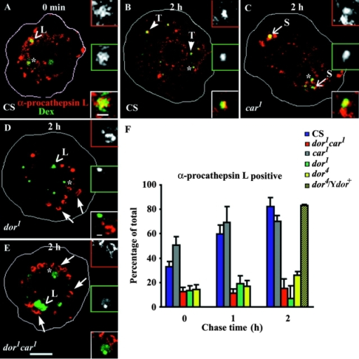 Mutant alleles of dor fail to deliver Golgi-derived hydrolase to endosomes. Hemocytes from wild-type (A and B), car1 (C), dor1 (D), and dor1car1 (E) incubated with F-Dex (green) for 5 (A) or 15 (B–E) min were fixed and immunostained with antiserum against pro–cathepsin L (α-proCathepsin L; red) either immediately (A) or after 2 h (B–E) and imaged on a confocal microscope. Insets in A–E show magnified views of areas marked by an asterisk (α-proCathepsin L, top; F-Dex, middle inset). Note the accumulation of large ring-like organelles containing pro–cathepsin L in the dor alleles (D and E, bold arrows). Histogram in F shows the percentage of F-Dex–containing endosomes colocalized with pro–cathepsin L at the indicated chase times in different alleles. Note the complete rescue of defect in fusion of Golgi-derived vesicles with endosomes in hemocytes from dor4/Ydor+. The results represent the mean ± SEM derived from two experiments. Bars: (shown in E corresponds to A–E) 5 μm; (insets) 1 μm.